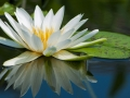 Lotus-Pretty-Flower
